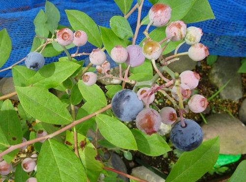 ラビットアイ系のブルーベリーのパウダーブルーとティフブルーのセット苗の収穫が始まりました