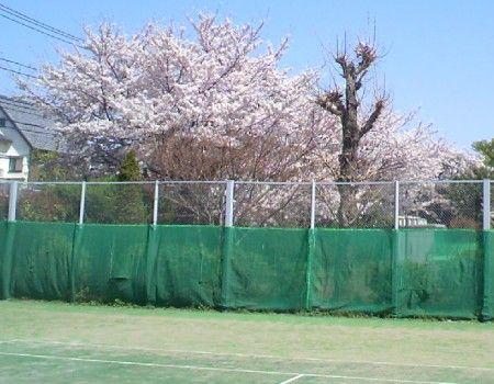 碑文谷テニスコートの桜