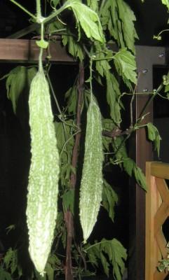ベランダ菜園のゴーヤ(ニガウリ・苦瓜)の実