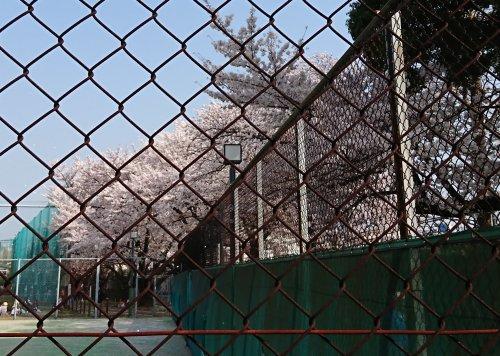 碑文谷体育館のテニスコート横の桜が満開