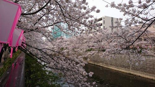 目黒川の桜が満開でした
