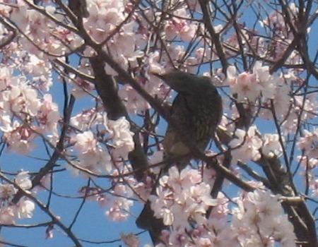 駒場野公園の桜に集まるヒヨドリ