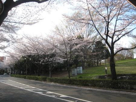 都立 光が丘公園の桜