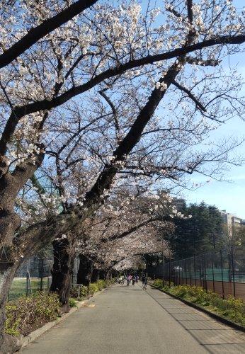 駒沢公園のテニスコート横の桜がきれいに咲いていました