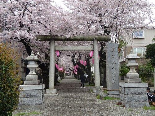 碑文谷八幡の桜が満開