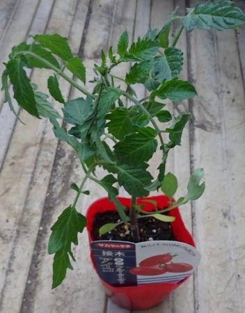 ミニトマト(キャロルスター)の接木苗