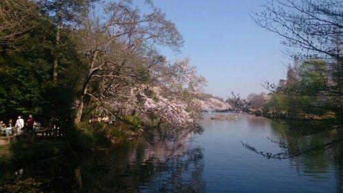 井の頭公園 満開の桜
