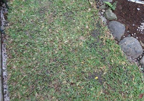 日当たりの悪い庭に 日照不足に強い芝生 セントオーガスチンを植え付け