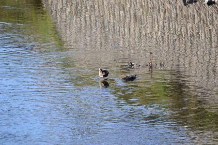 野川の野鳥を撮影 ニコンD3100 300mmズームレンズ