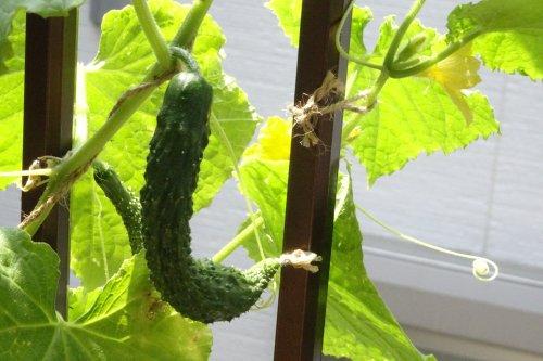 プランターで野菜用の土で栽培しているキュウリの方は茎の成長が悪い