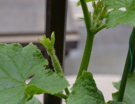 ベランダ菜園のプランターに植えつけたキュウリの雌花