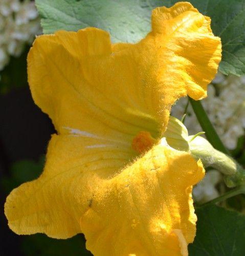 バターナッツかぼちゃの雌花