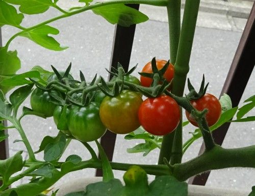プランターのミニトマトの収穫