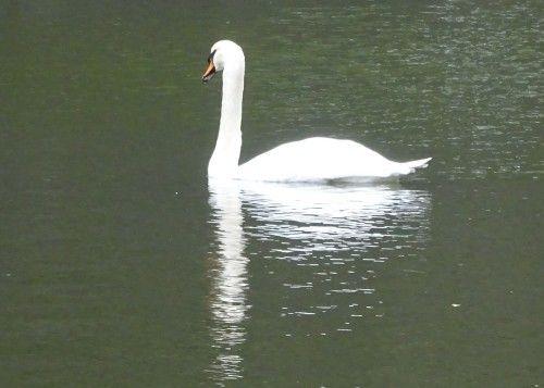皇居東御苑の白鳥