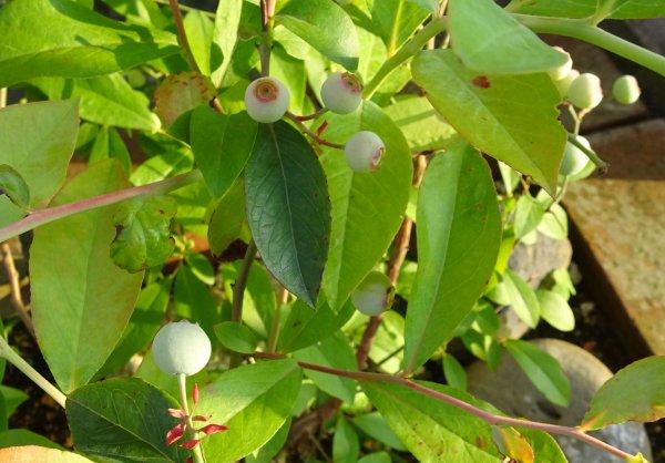 ラビットアイ系のブルーベリーの種類の異なるパウダーブルーとティフブルーのセット苗に実がなりました
