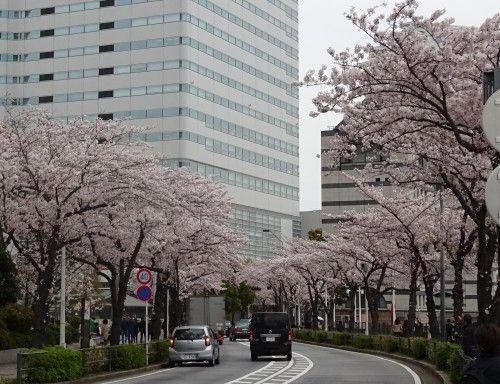 ランドマークタワー周辺の桜が満開でした