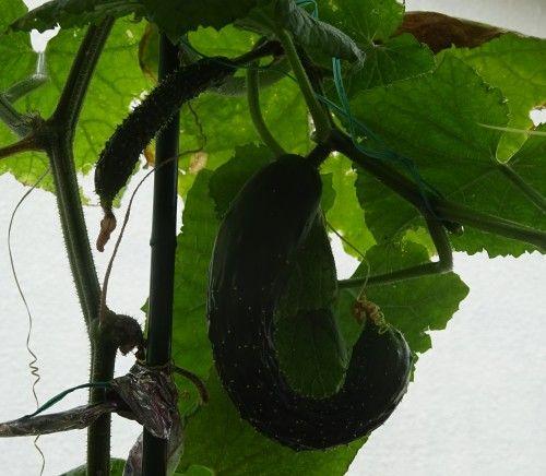 ベランダ菜園のプランターのキュウリの収穫
