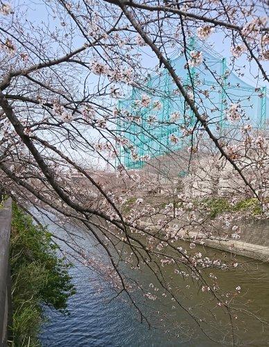 目黒川の桜が咲き始めていました