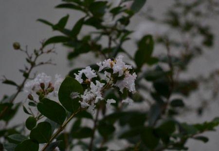 サルズベリの花を ニコンD3100で撮影