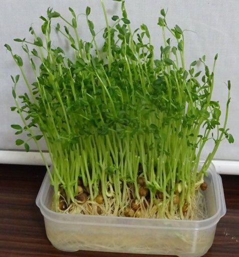 豆苗の再生栽培にトライ