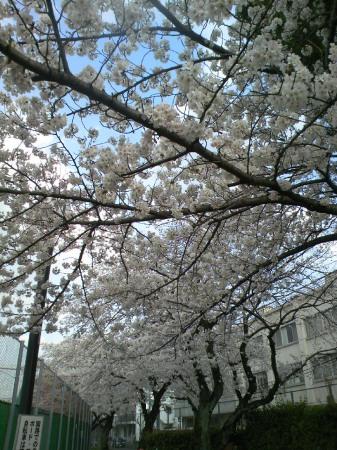 碑文谷体育館 桜が満開