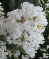 百日紅(さるすべり)白