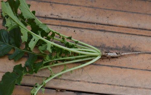 ベランダ菜園の大根の間引き