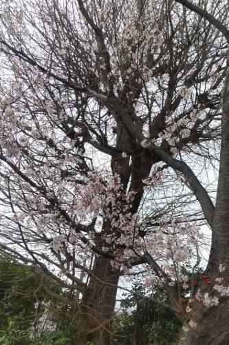 碑文谷のテニスコート横の小彼岸桜が満開