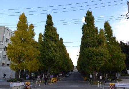 慶応大学日吉キャンパス 銀杏並木が色づいてきて綺麗でした