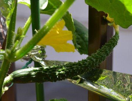 ベランダ菜園のプランターに植えつけたキュウリの実が大きくなってきました