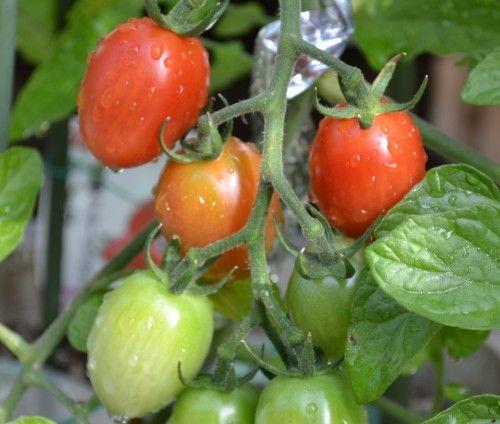 ミニトマト アイコの実を収穫