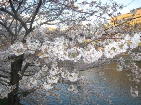 飯田橋のお堀の桜