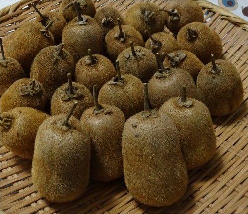 キウイフルーツ スーパーエメラルドの実を収穫 1株で実をつけるキウイの苗