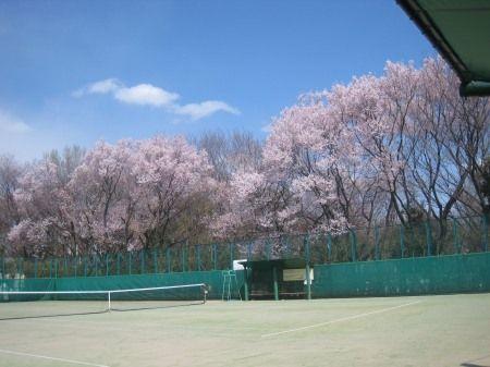 駒場野公園のテニスコート横の桜
