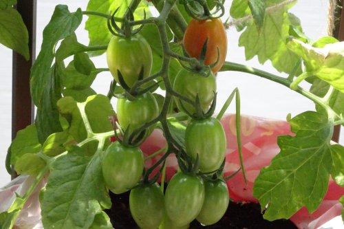 ベランダ菜園のミニトマトの接ぎ木苗 第1段目の実が赤くなり始めました