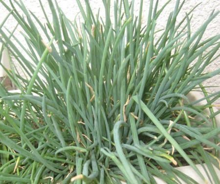 浅葱をプランターで栽培