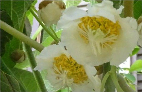 キウイフルーツ スーパーエメラルドの花が咲きました