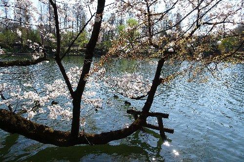 井の頭恩賜公園の桜が満開でした