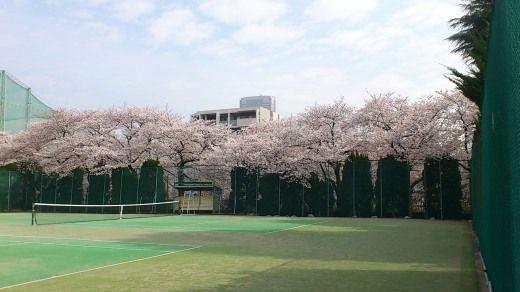 目黒区民センターテニスコートの桜