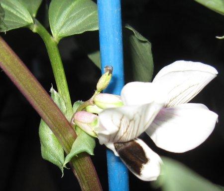 ベランダ菜園のソラマメの花