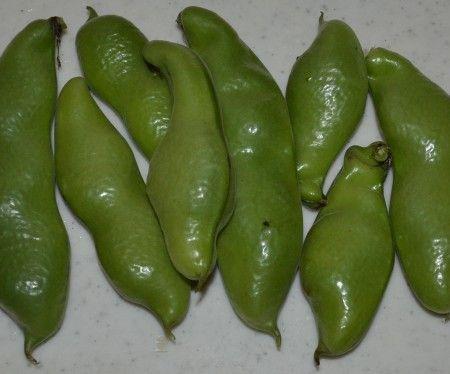 ベランダ菜園のソラマメの収穫