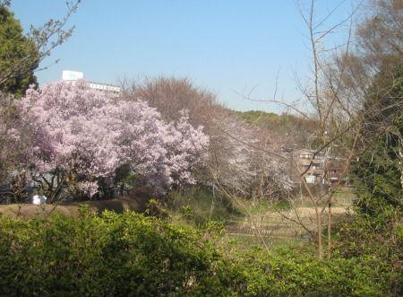 駒場野公園のケルネル田圃の周りの桜