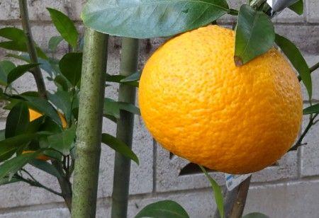 甘夏みかんの実を3個収穫