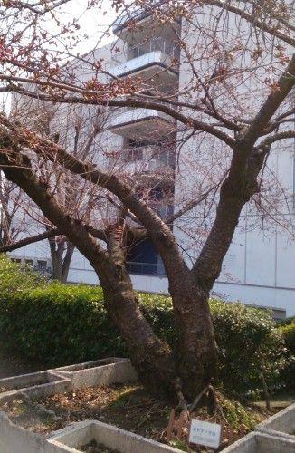 西友小手指店のアメリカから里帰りしたポトマック桜