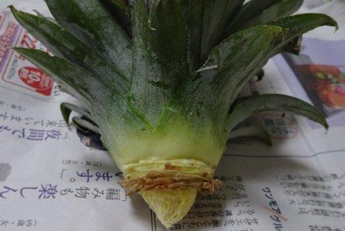 食べたパイナップルヘタを育てて実の収穫にトライ