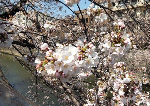 目黒川の桜がきれいに咲き始めていました