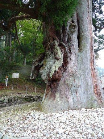 下呂温泉の大きなコブの大スギがある禅昌寺
