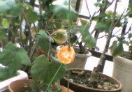 ベランダに来る鳥の動画 メジロ