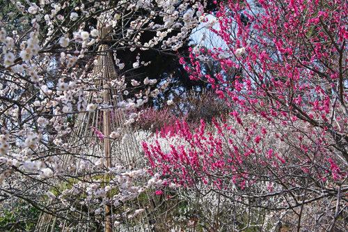 百草園梅まつり201003-4