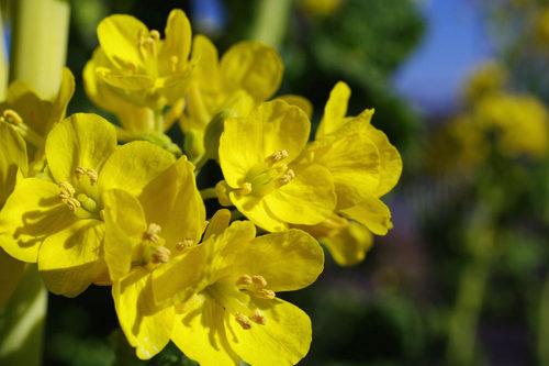 菜の花2010-5